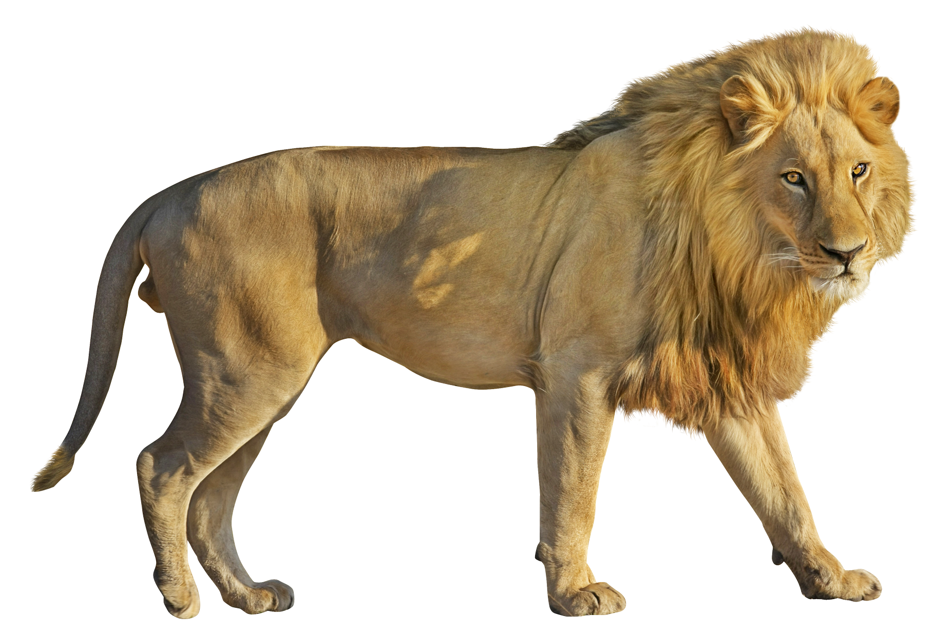 lion png transparent image pngpix #11307
