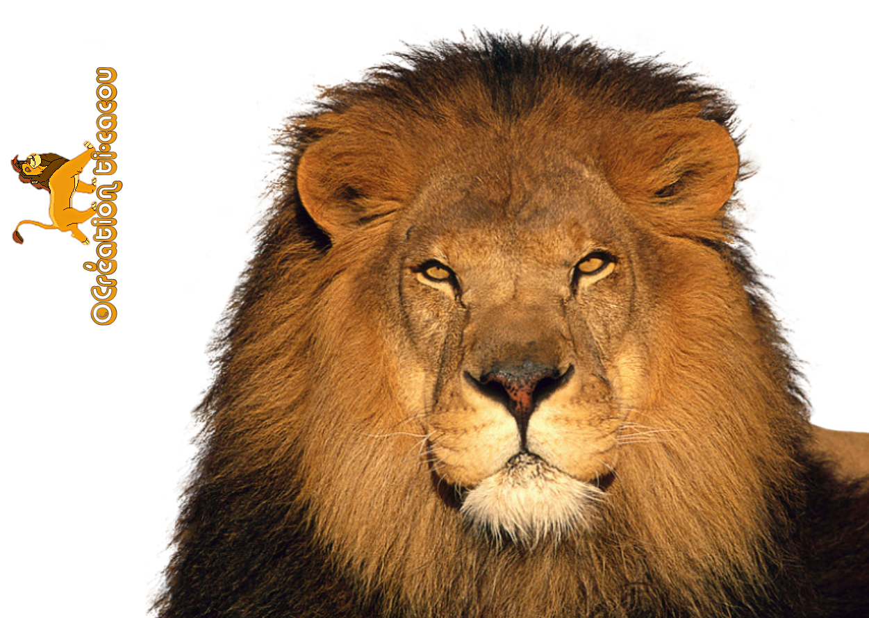 lion transparent png pictures icons and png backgrounds #11287