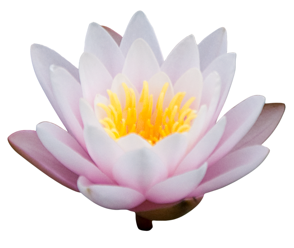 lotus flower png images download #26569