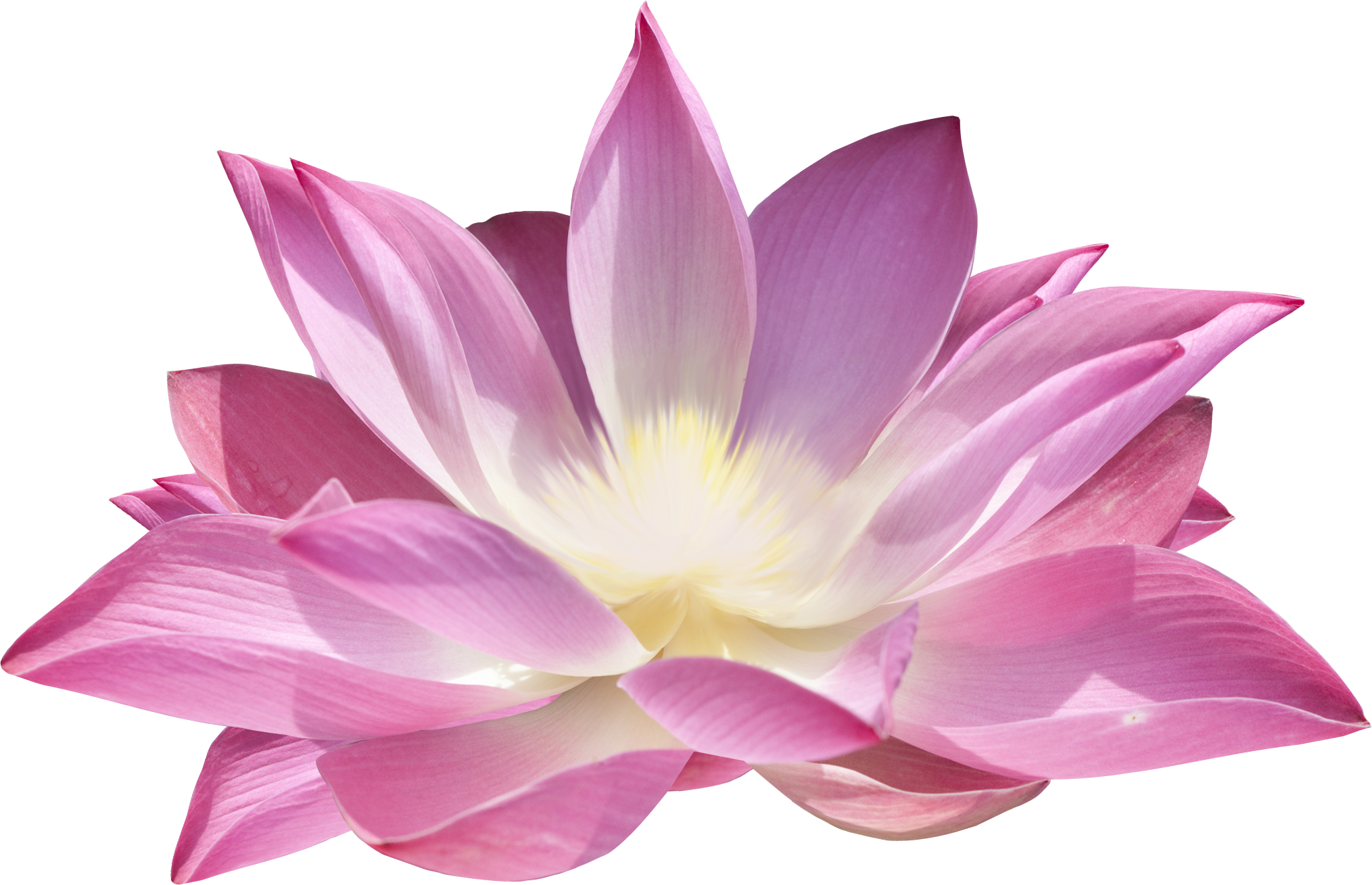 lotus png image collections are available for #26567