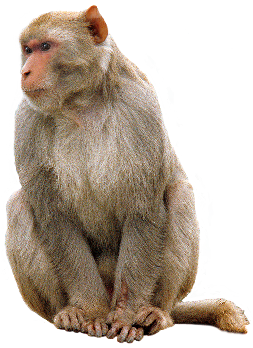 download high quality monkey png transparent images #19171