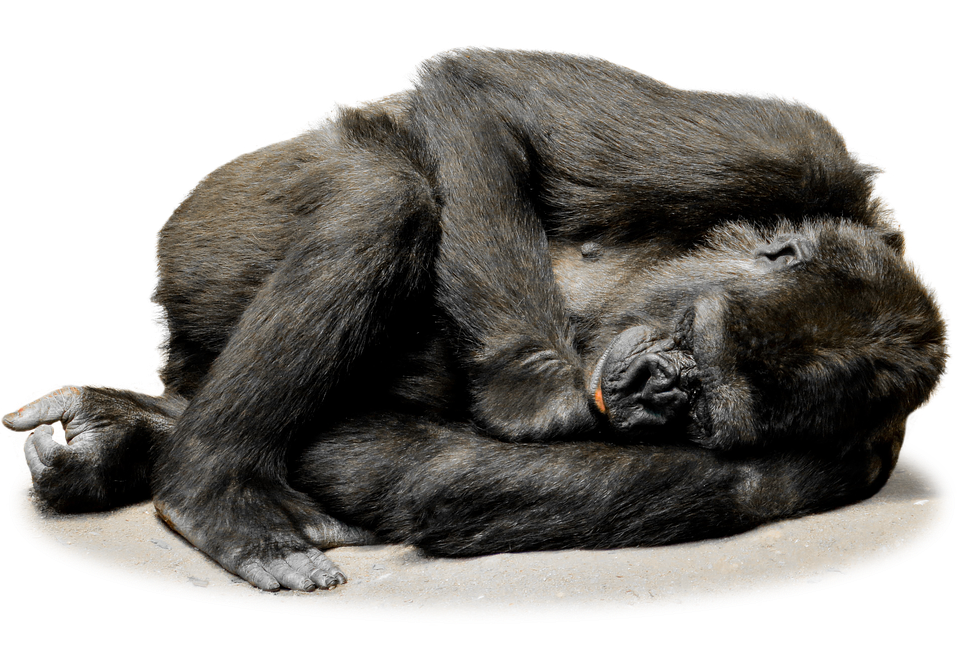 funny monkey png transparent funny monkey images #19177