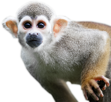 monkey png transparent images png only #19155