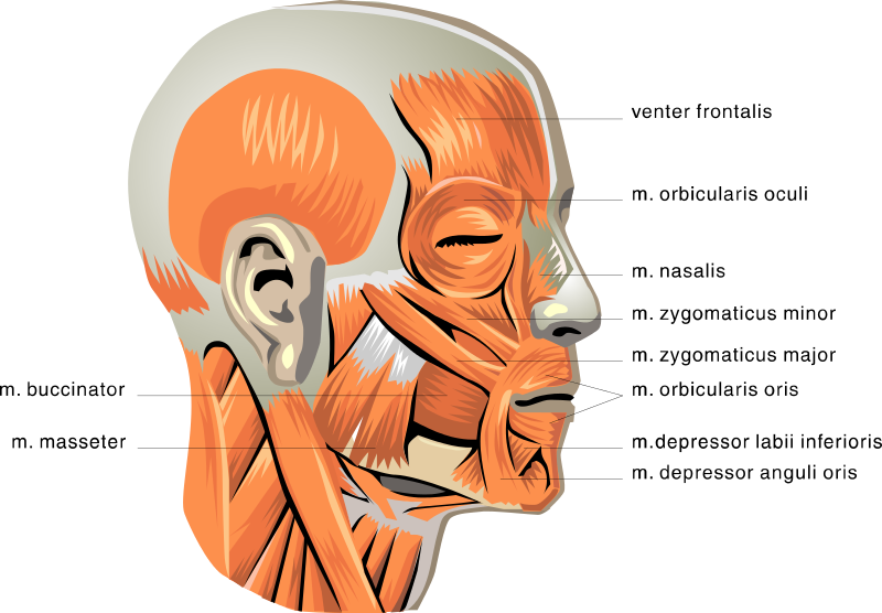 anatomy face muscles medical anatomy muscle anatomy face muscles html #29678