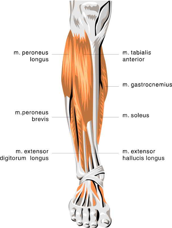 anatomy lower leg muscles medical anatomy muscle anatomy lower leg muscles html #29646