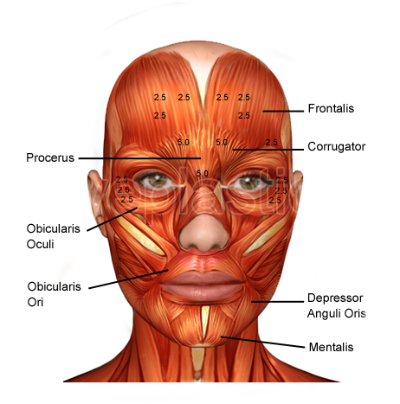muscles, eyelid surgery anatomy the eyelid cosmetic surgery #29629