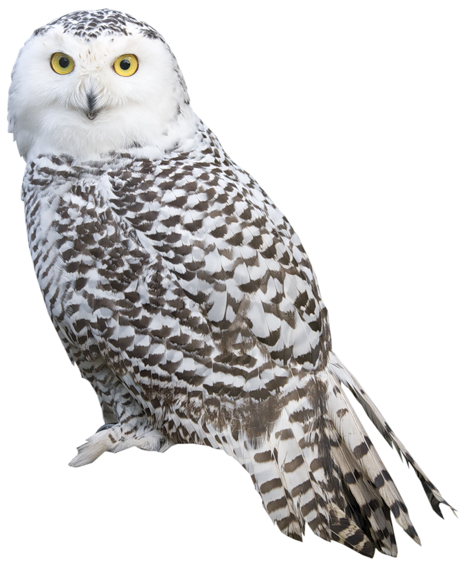 white owl png clipart best web clipart #28968