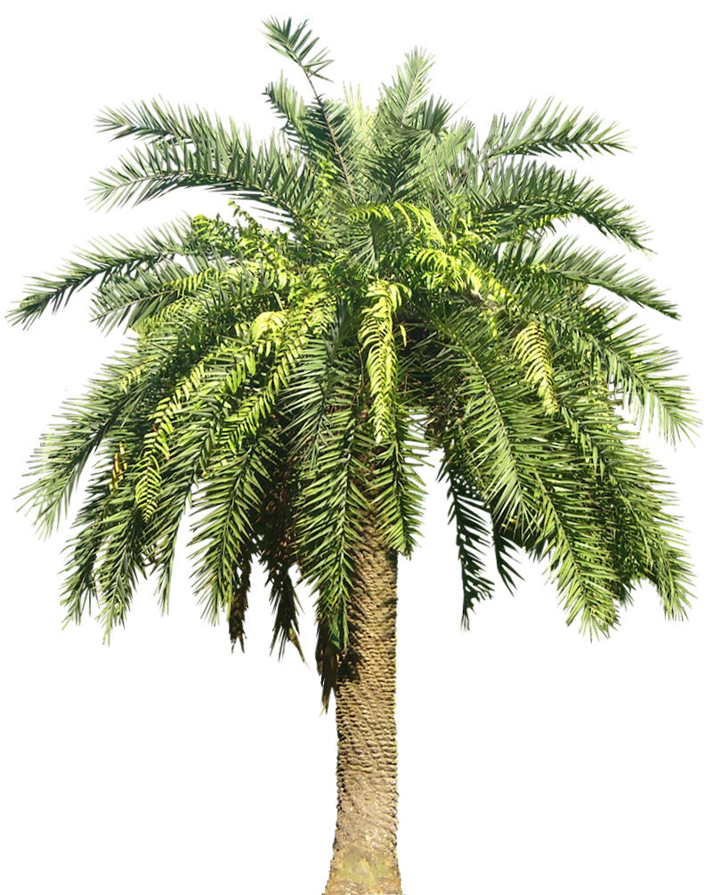 palm tree png palm transparent png pictures icons and png backgrounds #11045