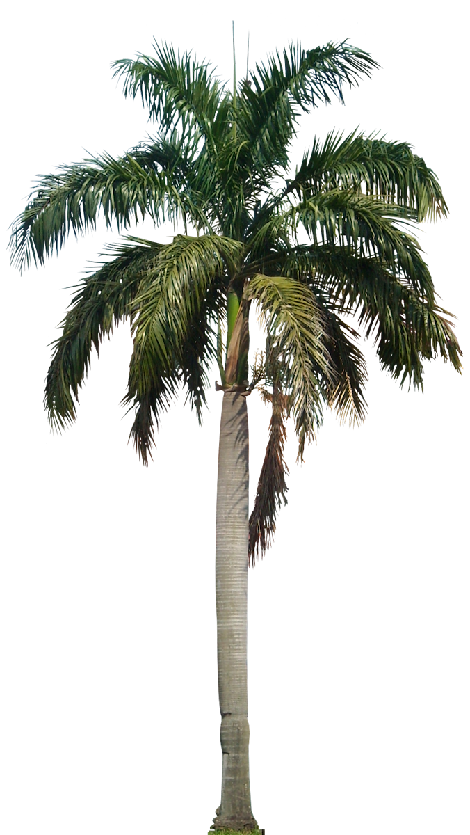 palm tree png palm transparent png pictures icons and png backgrounds #11002