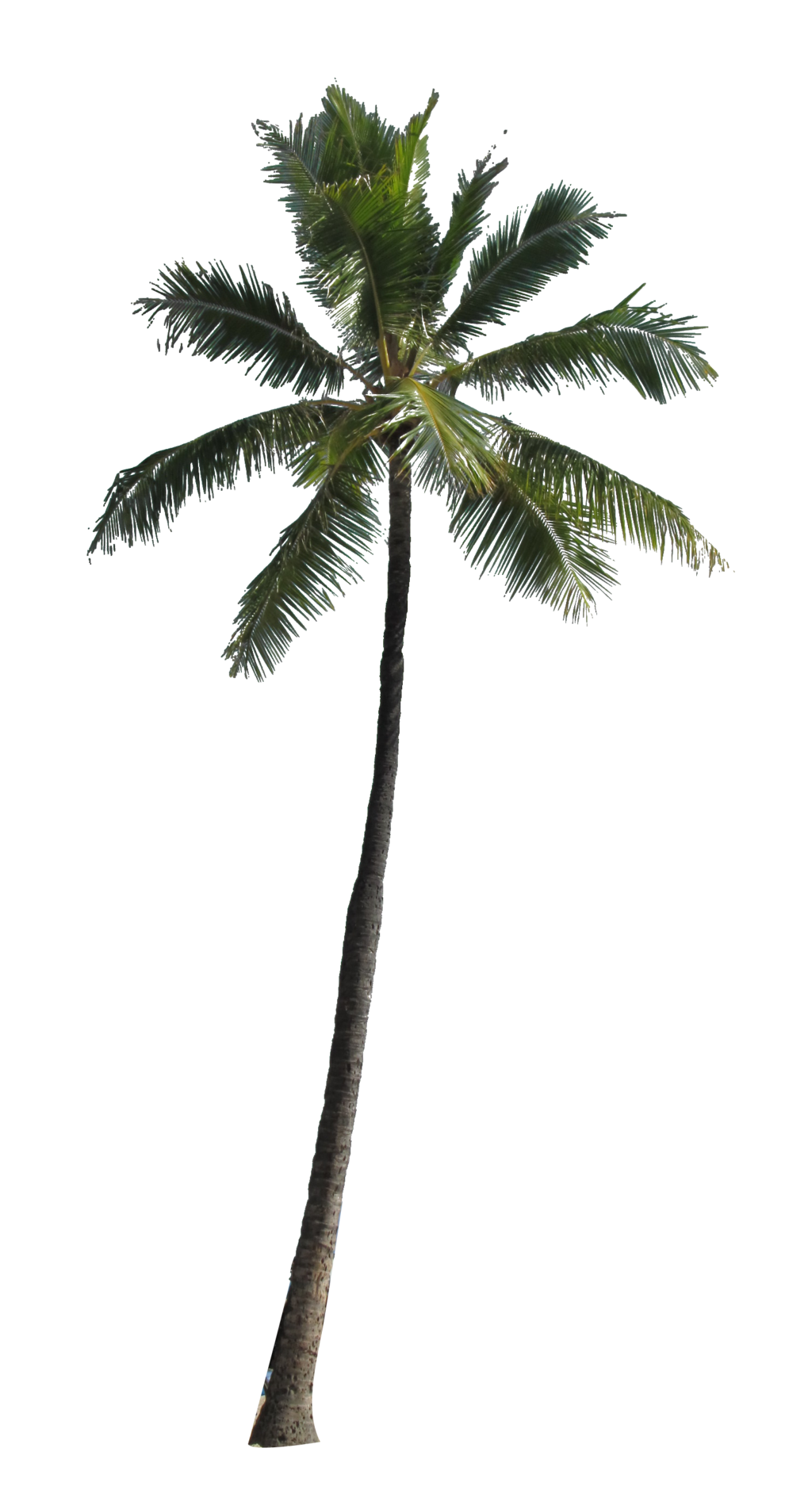 palm tree png the meaning and symbolism the word palm #10992