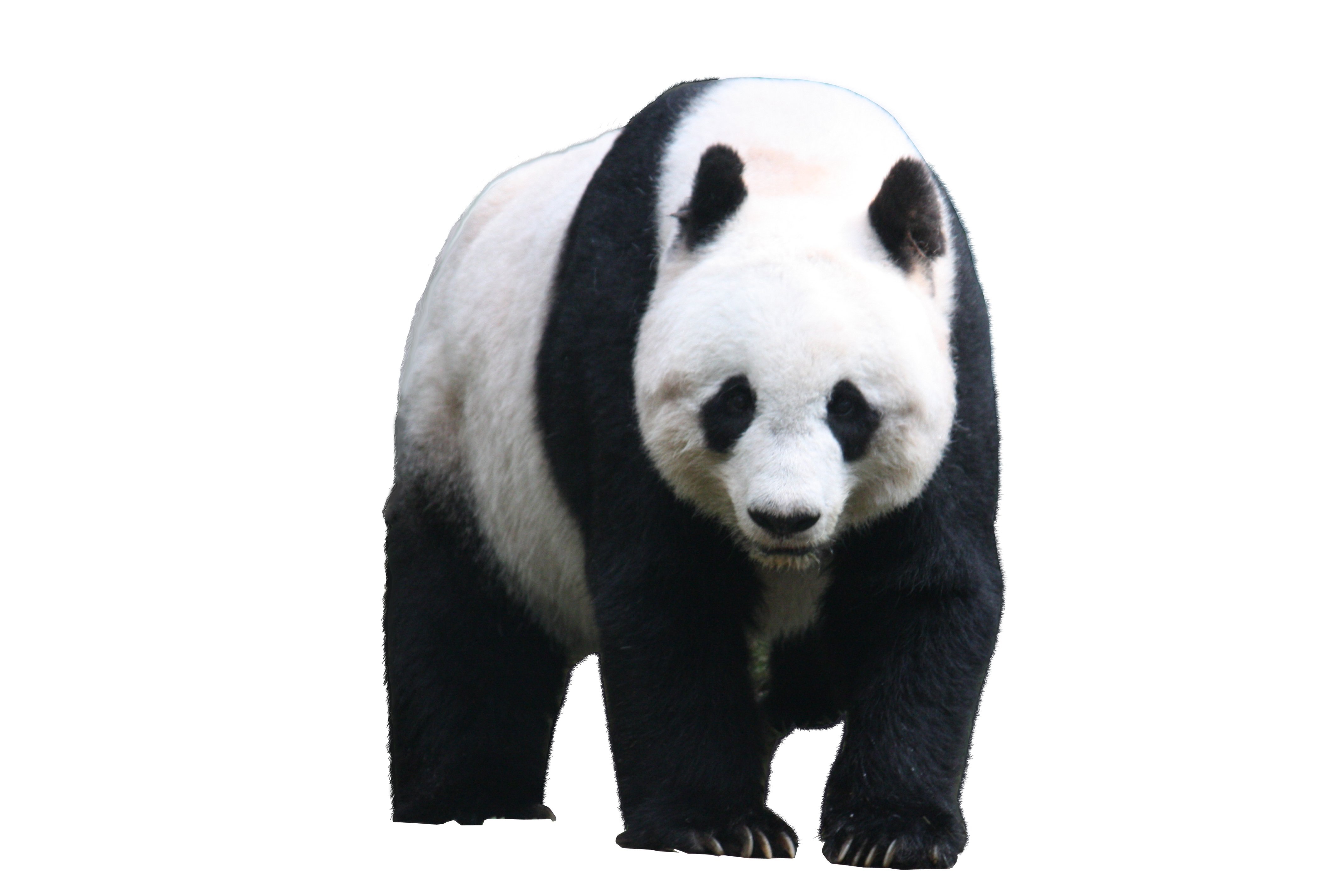 panda png picture web icons png #19962