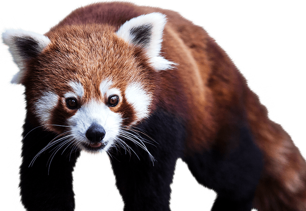 red panda national zoo aquarium #19852