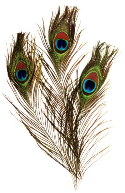 download peacock feather png transparent image and 20867