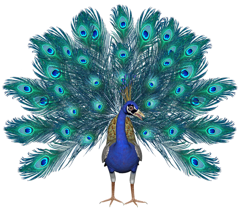 peacock and wings png transparent images images 20871