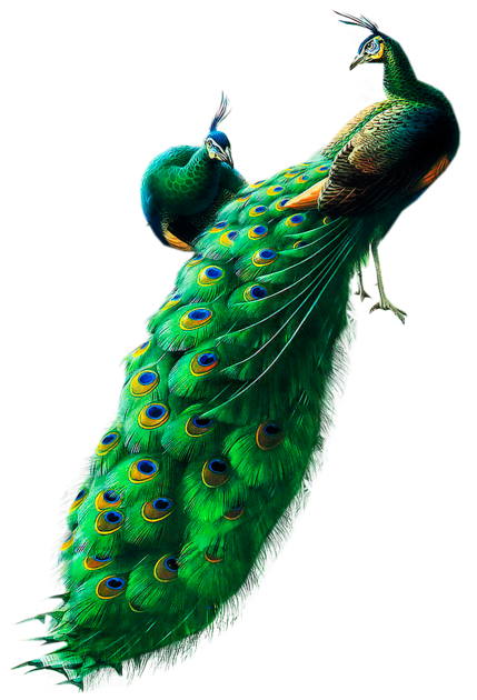 peacock, peacocks cliparts download clip art clip 20870