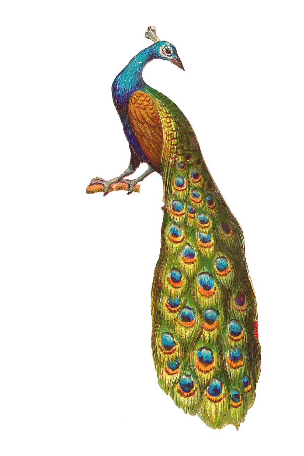 peacock png clipart and images #20817