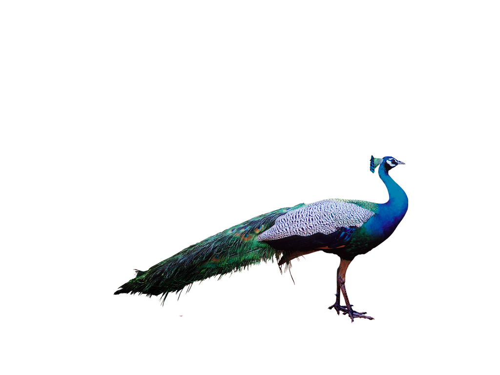 peacock png clipart and images #20764