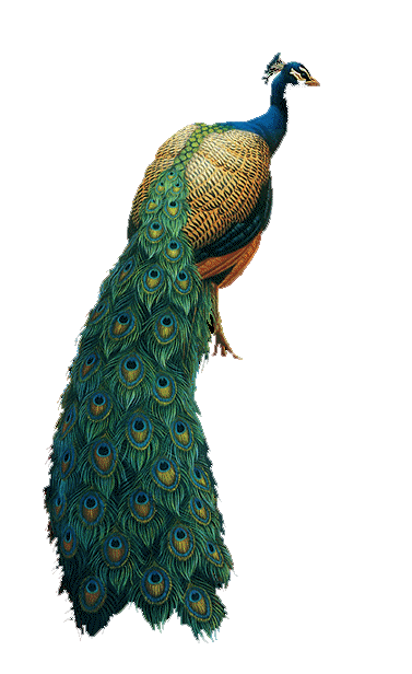 peacock png images collected for download #20809