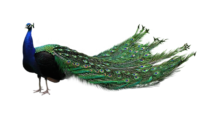 peacock png images collected for download #20813