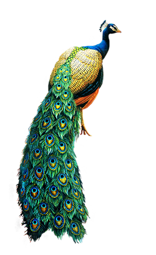 peacock png images collected for download #20815