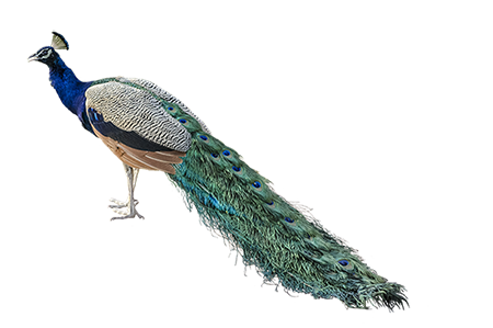 peacock png transparent peacock images pluspng