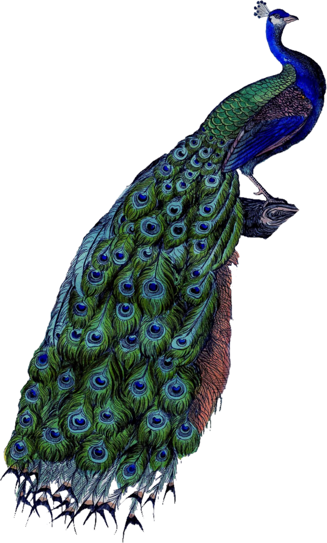 peacock transparent background #20810
