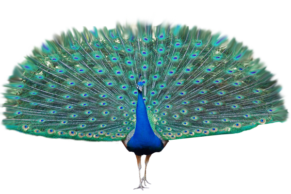 peacock transparent background #20818