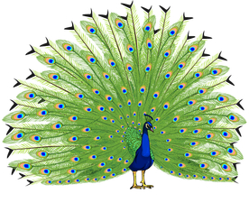 peacock transparent background #20844