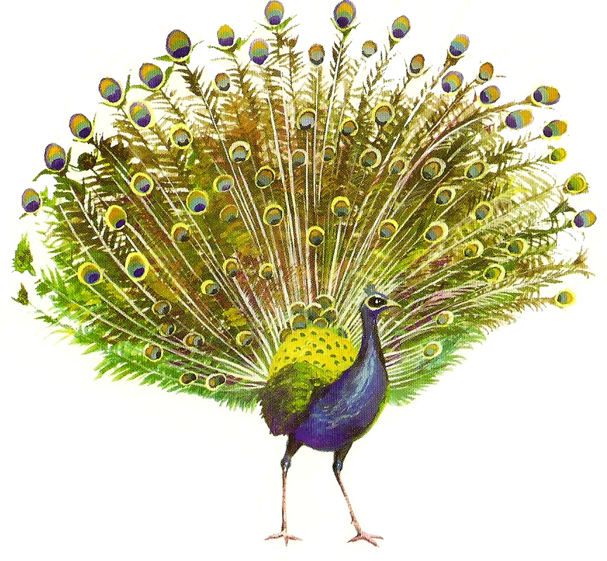 peacock transparent background 20861