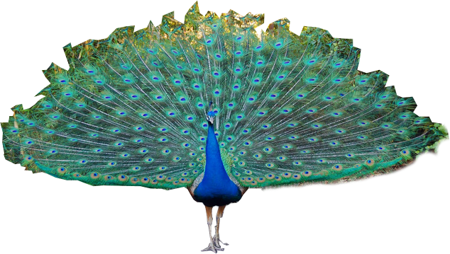 peacock transparent png pictures icons and png 20862