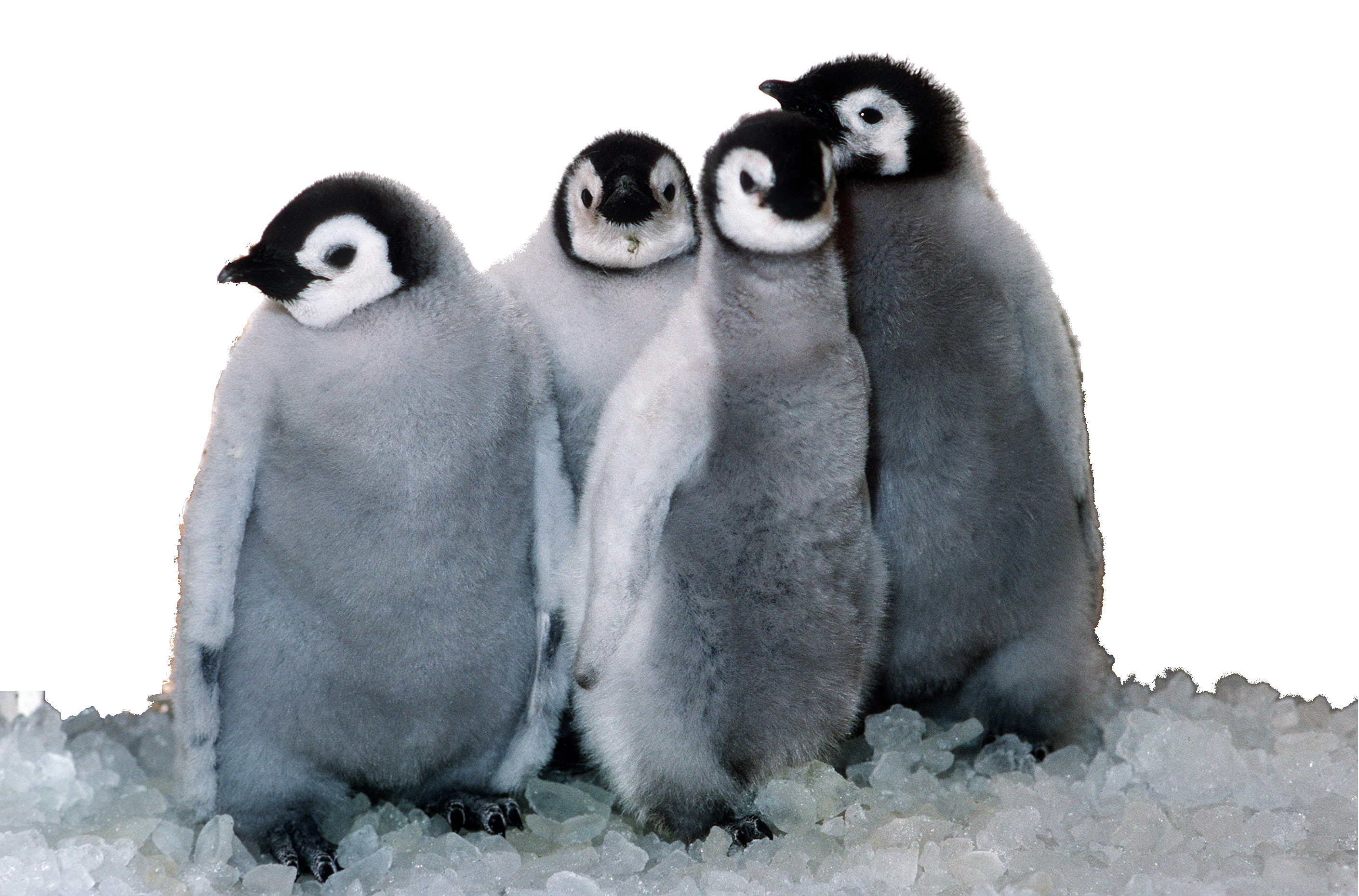 file emperor penguin chicks sea world foreground #35612