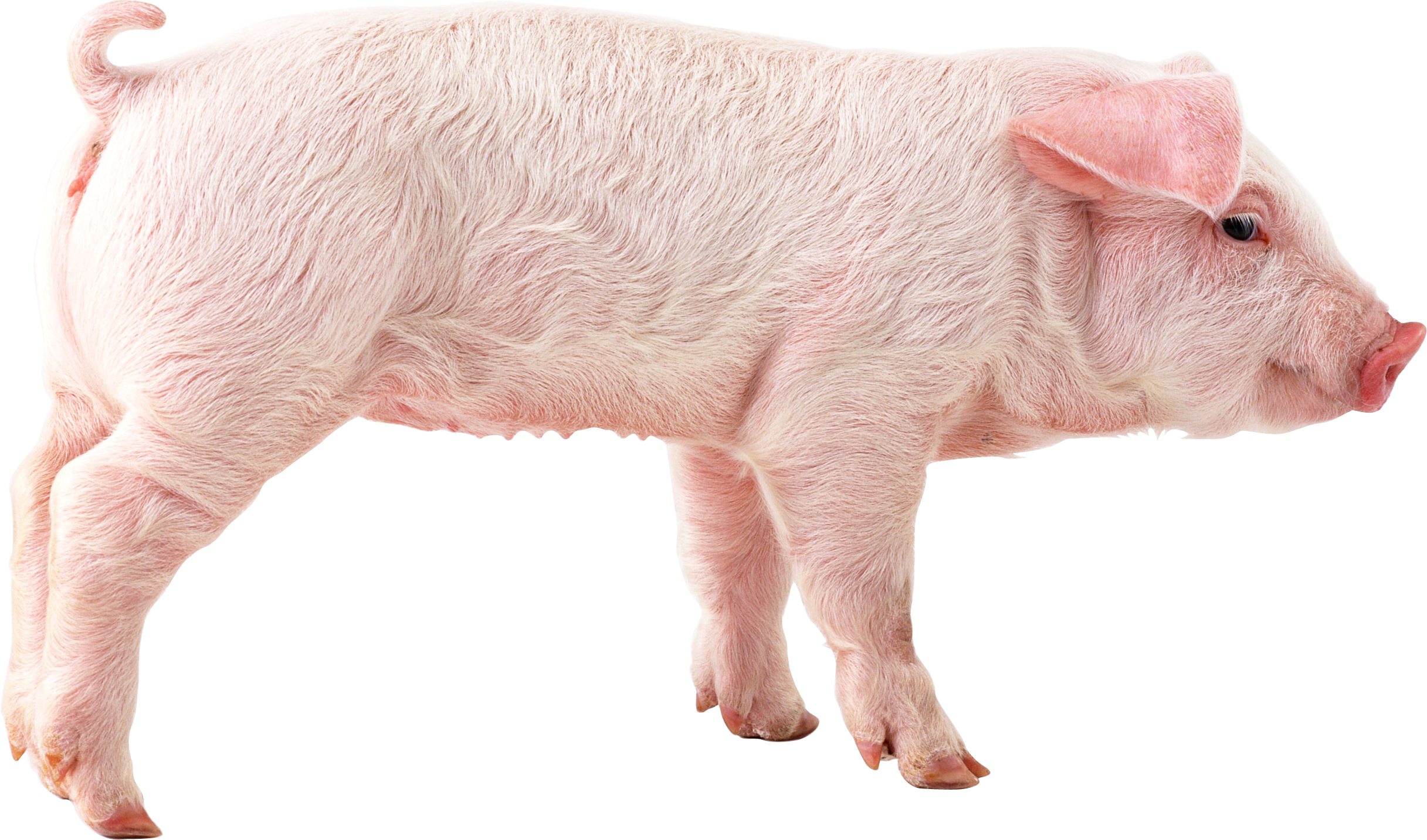 baby pig png #23340