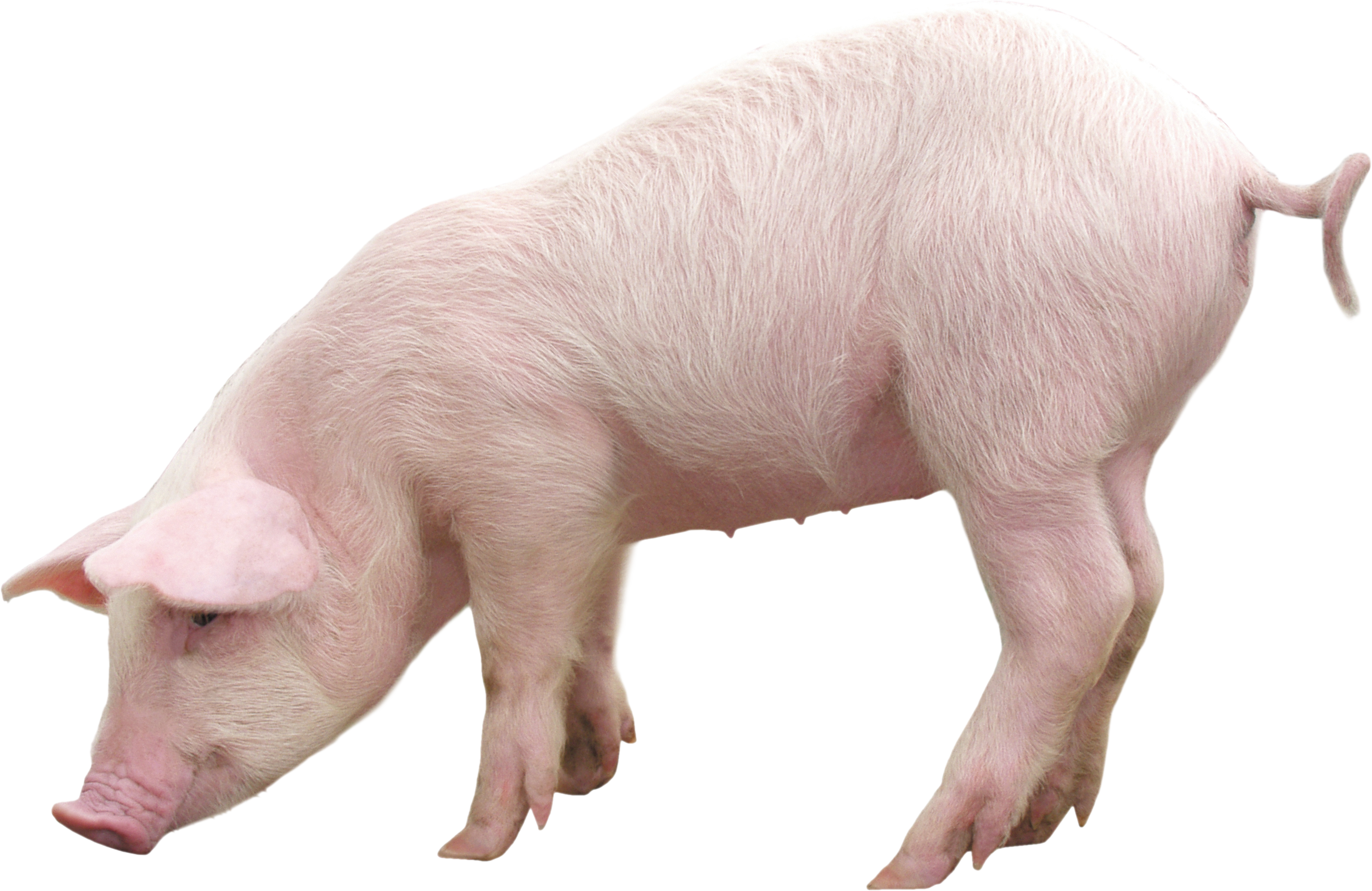 pig png #23471
