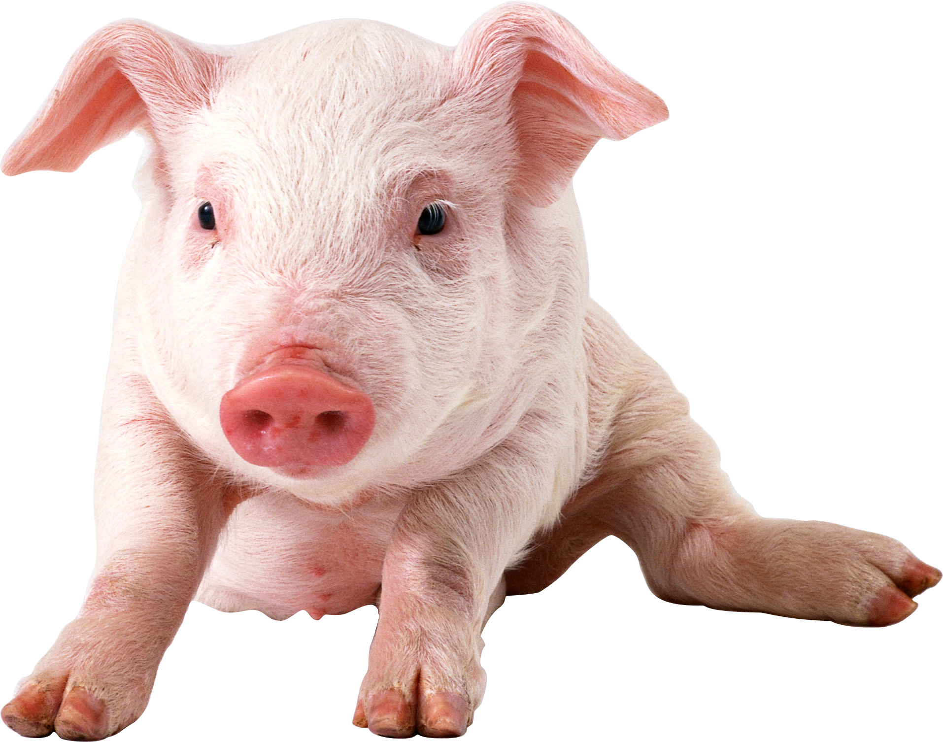 pig png image pinterest pig png and animal #23492