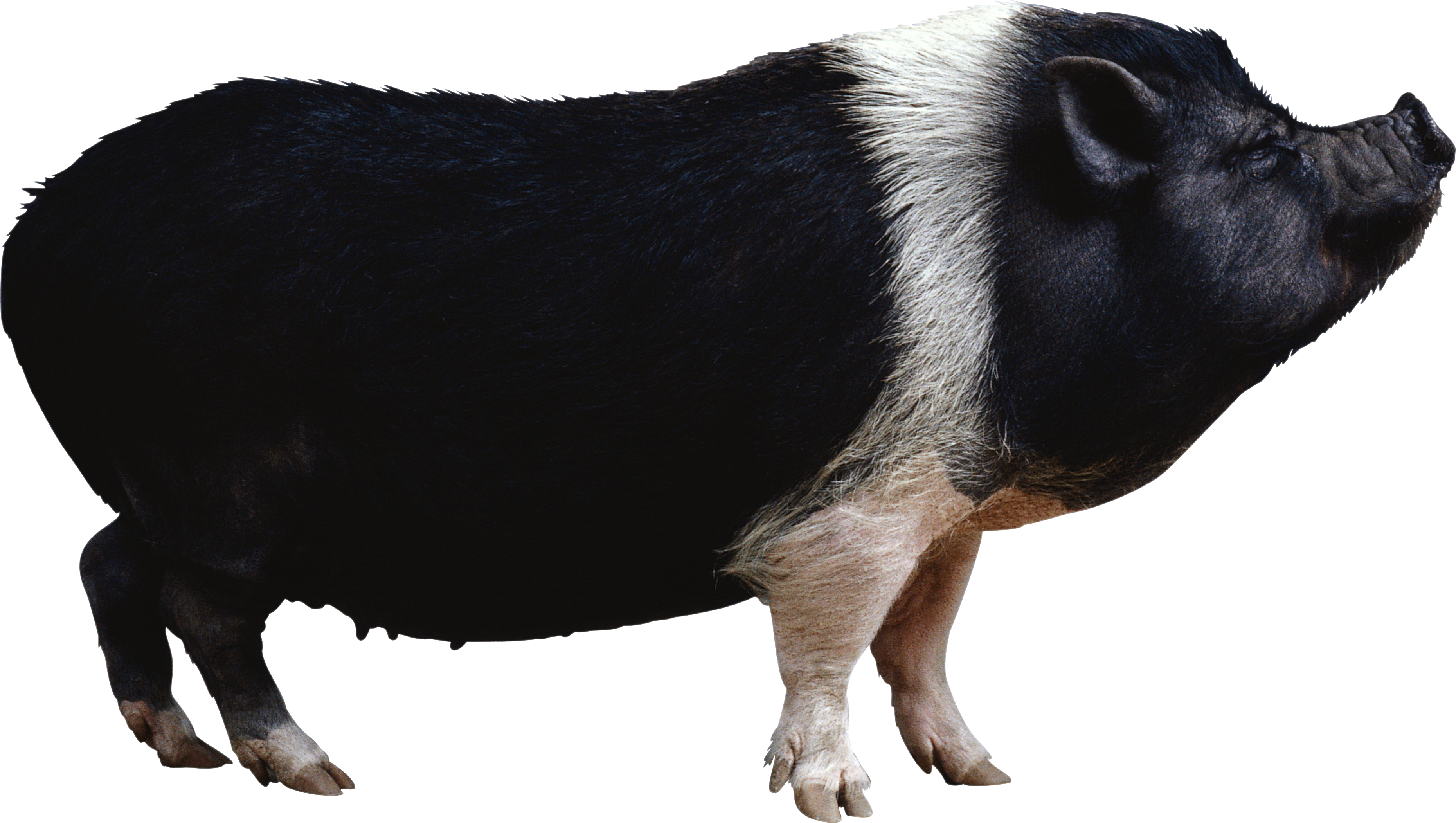 pot bellied pig clipart clipground #23513