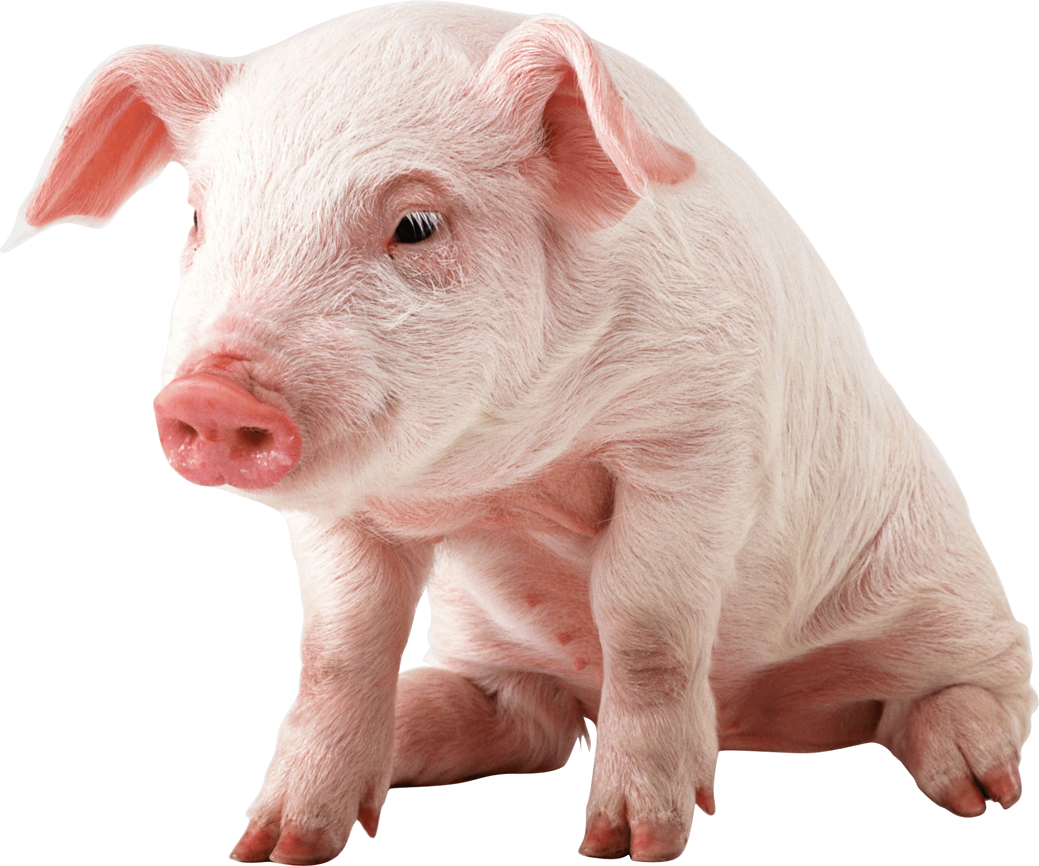 small pig sitting transparent png stickpng #23475