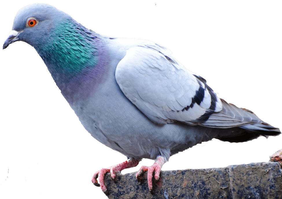 best pigeon clean services phoenix bills pest #17862
