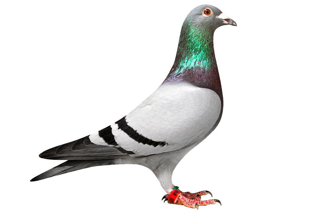 download pigeon transparent png clipart images images #17897