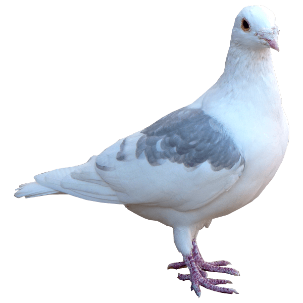 download pigeon transparent png clipart images images #17825