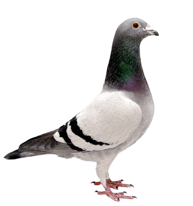 pigeon transparent background bird image #17834