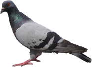 pigeon, tux paint stamp browser animals #17915
