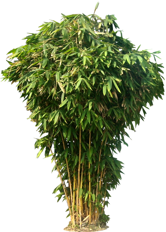 plant png tree png images bamboo tree photoshop #9495