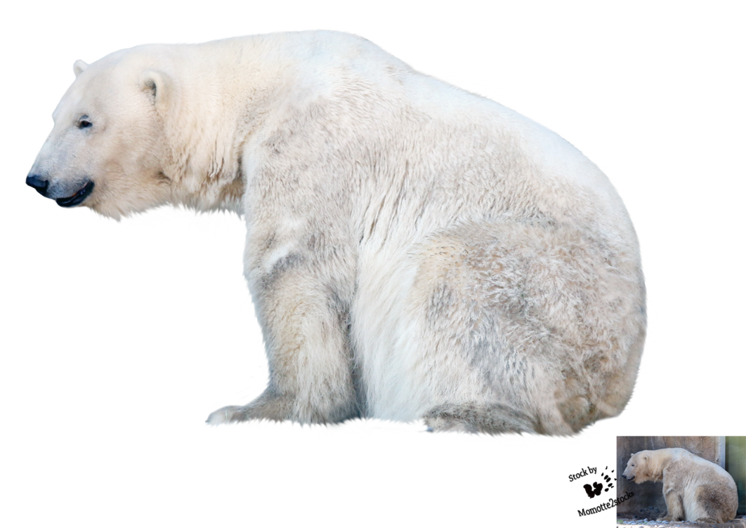 cut out png polar bear momotte deviantart #29793