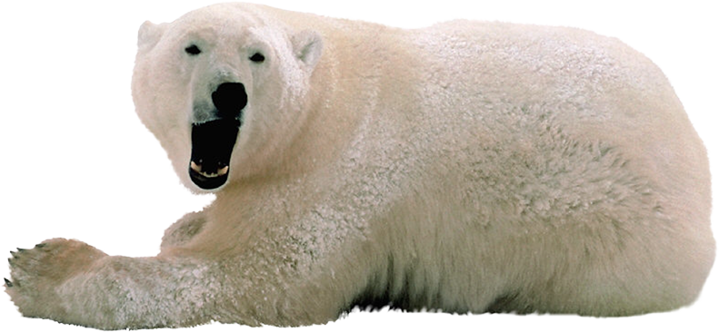 download polar bear png transparent images transparent backgrounds pngriver com polar bear #29783