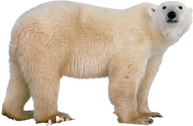 download polar bear png transparent images transparent backgrounds pngriver com polar bear #29787