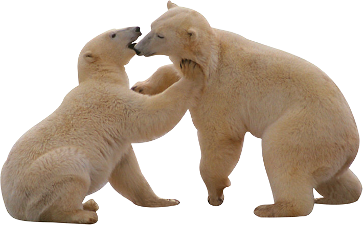 download polar bear png transparent images transparent backgrounds pngriver com polar bear #29800
