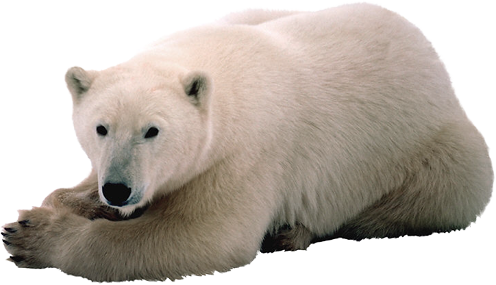 polar bear, download polar white bear png transparent images and clipart pics transparent png #29852