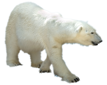 polar bear kindersay #29836