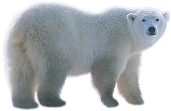 polar bear png image collection download crazypngm crazy png images download #29788