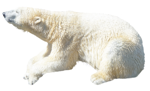 polar bear png transparent image pngpix #29808